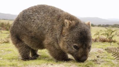 istock_000022746631medium_wombat