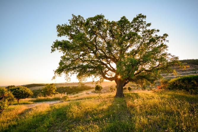 cork-oak-alentejo